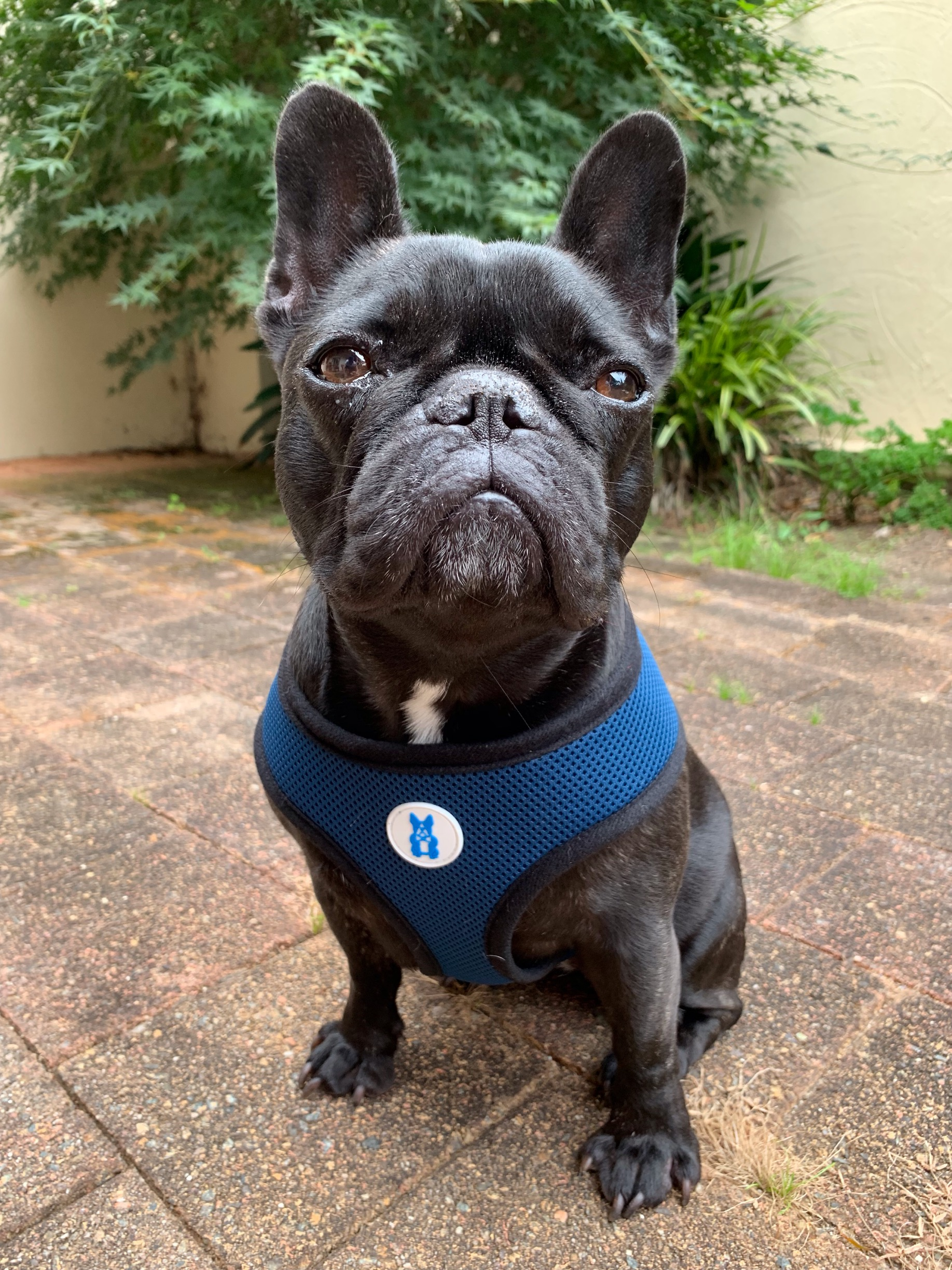 Walking Harness For French Bulldogs